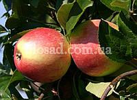 Яблоня СЛАВА ПОБЕДИТЕЛЯМ, фото 1