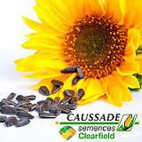 Семена подсолнечника Соларни КС / Соларні КС раннеспелый - высокоолеиновый, Франция, фото 2