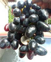 Саженцы винограда Сеянец Фурора (привитые)