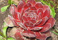 Молодило Red Beauty