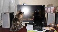 Котячі ігри