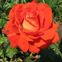 Саженцы Роза Верано (Verano)