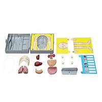 Детская лаборатория 4М  Анатомия человеческого торса