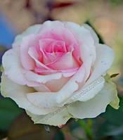 Саженцы Роза Малибу (Maliby)