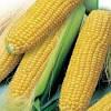 Семена кукурузы DOW SEEDS МТ 261