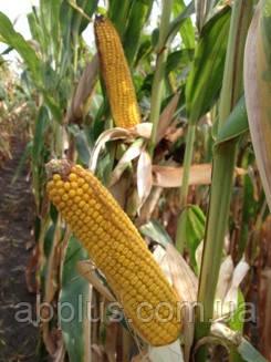 Семена кукурузы  MT Matado