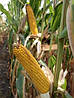 Семена кукурузы DOW SEEDS DA Sonka (Да Сонка)