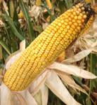 Семена кукурузы Brevant (DOW SEEDS) DS 0336 (ДС О336)