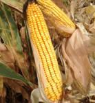 Семена кукурузы DOW SEEDS Survivor (Сурвивор)