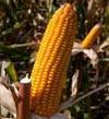 Семена кукурузы DOW SEEDS DS 0306 (ДС 0306)
