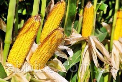 Семена кукурузы  DS 0493B