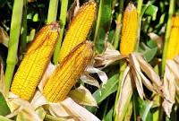 Семена кукурузы DOW SEEDS DS 0493B (ДС 0493Б)