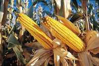 Семена кукурузы DOW SEEDS DS 0918B (ДС 0918Б)