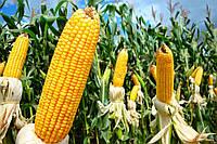 Семена кукурузы DOW SEEDS Surreal (Сурреал)