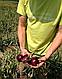 Семена лука Монастрел F1 \ Monastrell F1 250 000 семян Enza Zaden, фото 3