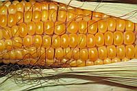 Семена кукурузы DOW SEEDS DS 0479B (ДС 0479Б)