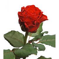 Саженцы Роза Эльторо (El Toro)