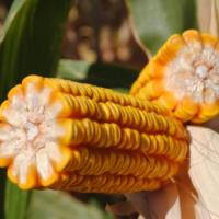 Семена кукурузы DOW SEEDS DS 1083 С (ДС 1083С)