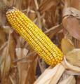 Семена кукурузы DOW SEEDS DS 1157 А (ДС 1157А)