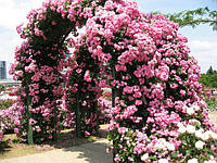 Саженцы Розы Плетистые (вьющиеся)