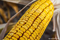 Семена кукурузы DOW SEEDS DS 1176 В (ДС 1176Б)