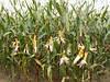 Семена кукурузы DOW SEEDS DS 0791C (ДС 0791С)