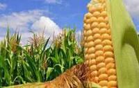 Семена кукурузы DOW SEEDS DS 0706C (ДС 0706С)