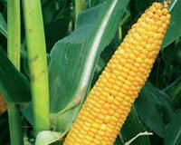 Семена кукурузы КВС КАНЬЙОНС (KWS)