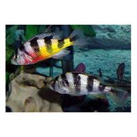 Хаплохромис обликвиденс (Haplochromis obliquidens)