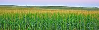Семена кукурузы КВС 2370 (KWS)