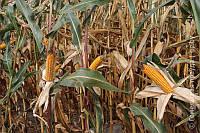 Семена кукурузы КВС 6471 (KWS)