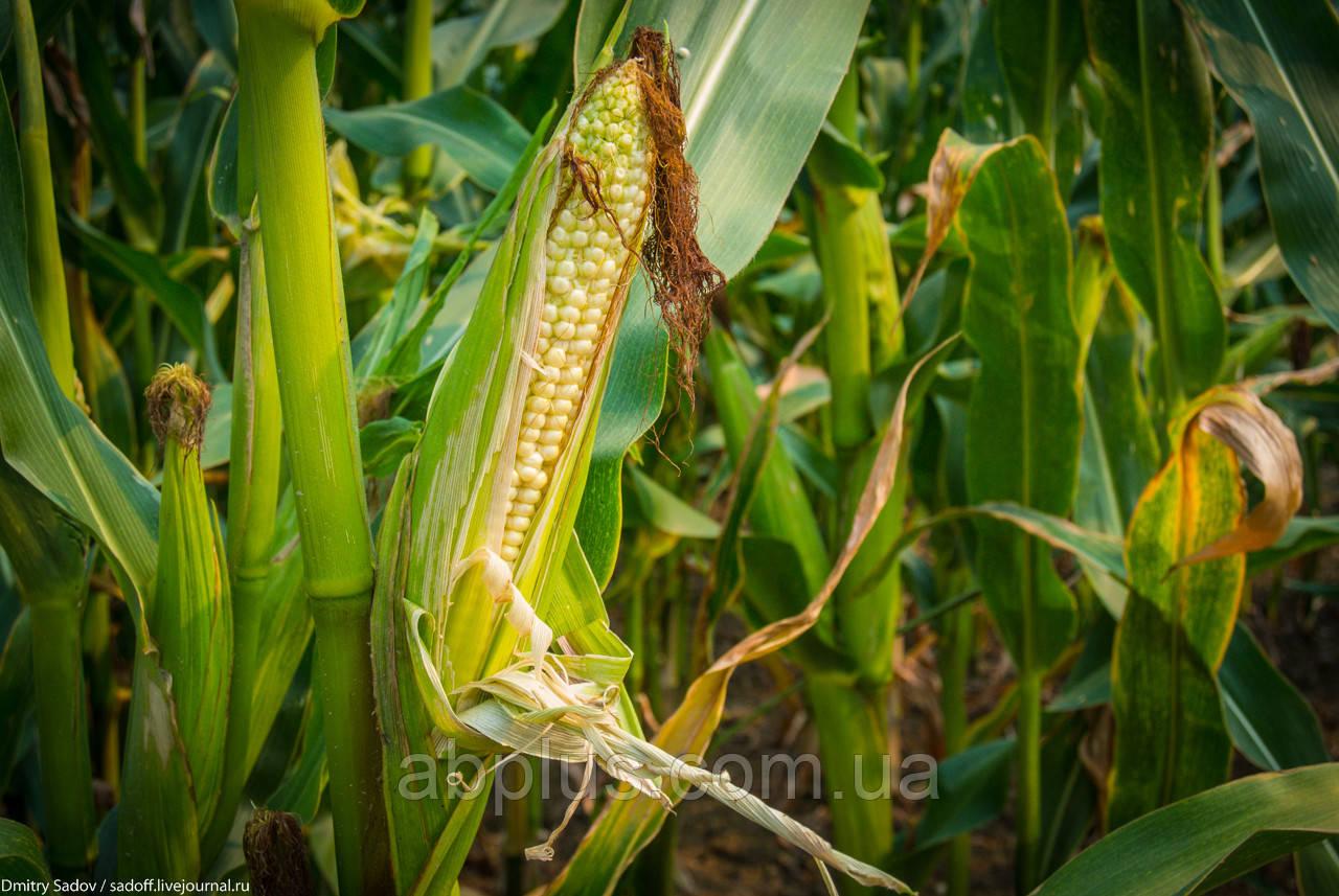 Насіння кукурудзи КВС 381 (KWS)