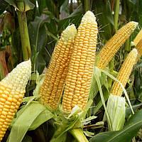 Семена кукурузы КВС ЭМИЛИО (KWS)