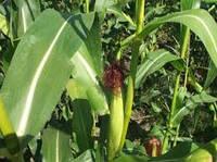 Семена кукурузы КВС КАМАРИЛЛАС (KWS)