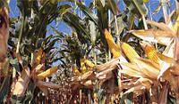 Семена кукурузы КВС КОМАНДОС (KWS)