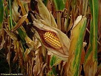 Семена кукурузы КВС КИНЕМАС новий (KWS)