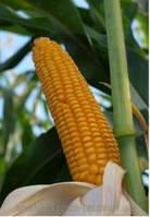 Семена кукурузы Пионер Р0216