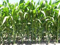 Семена кукурузы EURALIS SEMENCES ЕС БОМБАСТИК