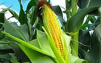 Семена кукурузы EURALIS SEMENCES ЕС ГАРАНТ