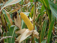 Семена кукурузы EURALIS SEMENCES ЕС КОНКОРД
