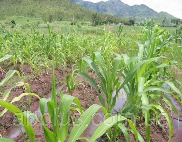 Семена кукурузы  ТОНІФІ