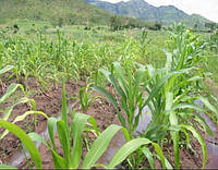 Семена кукурузы КОССАД Clariti (Кларити)