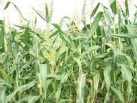 Семена кукурузы КОССАД Luigi CS (Луиджи КС)