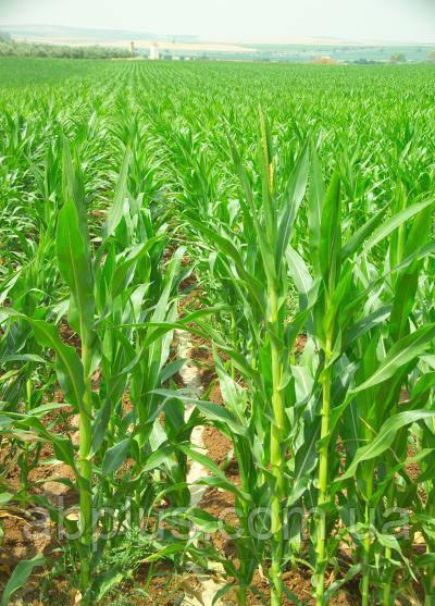 Насіння кукурудзи СЕІДІ