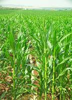 Семена кукурузы КОССАД Seiddi (Сеиди)