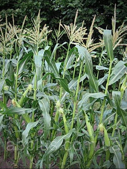 Семена кукурузы КАМПОНІ