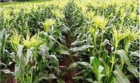 Семена кукурузы КОССАД Asteri CS (Астери КС)