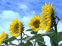 Семена Подсолнечника КОССАД Cressidia
