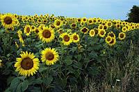 Семена Подсолнечника КОССАД Solarni CS (Соларни КС)