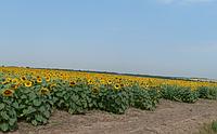 Семена Подсолнечника Пионер P63LE10 (П63ЛЕ10)